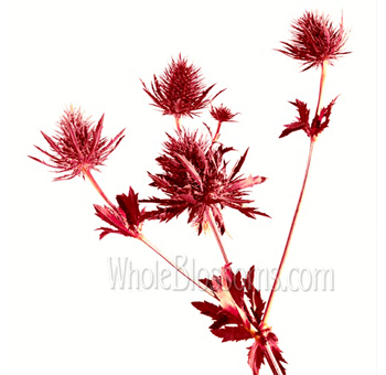 Red Eryngium Thistle Flower Dyed
