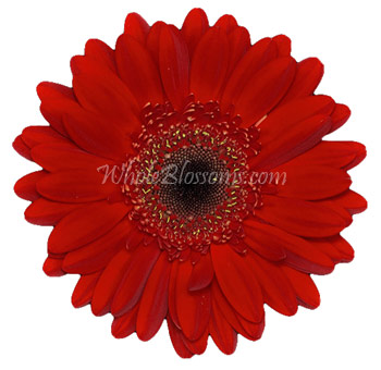 Red Gerbera Flower | Dark Center