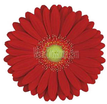 Red Gerbera Flower | Light Center