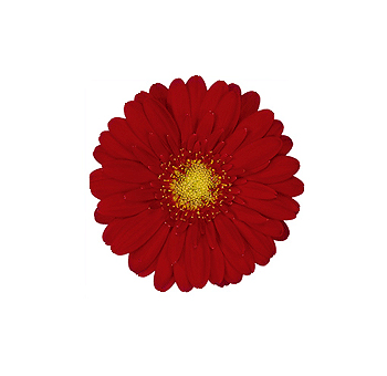 Red Mini Gerbera Flowers