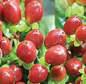 Dark Red Hypericum Berries