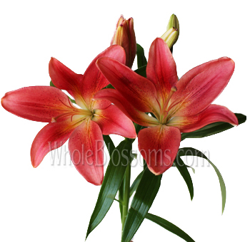 Red LA Hybrid Lily Flowers