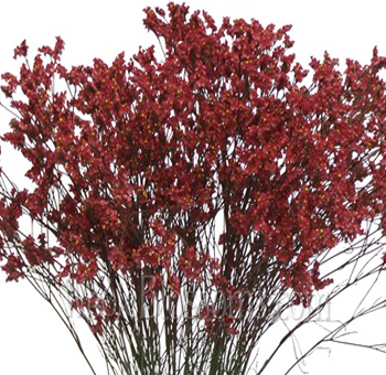Limonium Tinted Red Flower