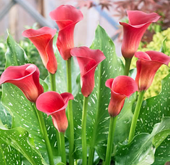 Red Calla Lily Flowers Red Sox