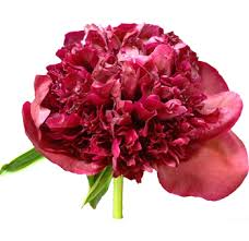 order wholesale peony flowers on sale