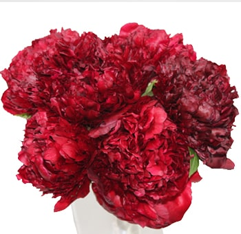 Dark Red Peonies