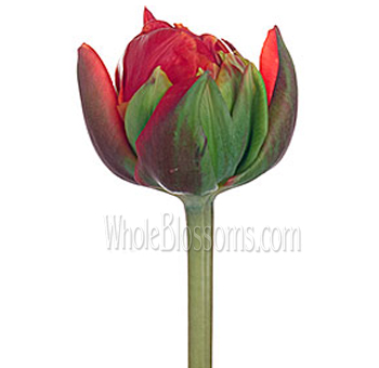 Double Tulips Bicolor Red Princess