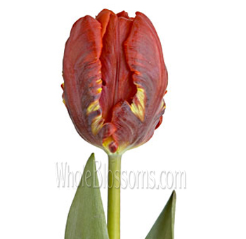Parrot Tulips Red Rococo