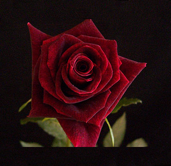Organic Red Rose Black Beauty