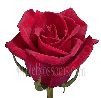 Cherry Love Organic Red Rose