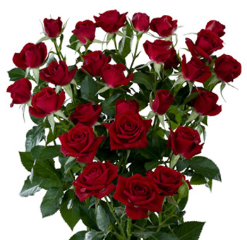 Red Spray Roses for Valentine's Day