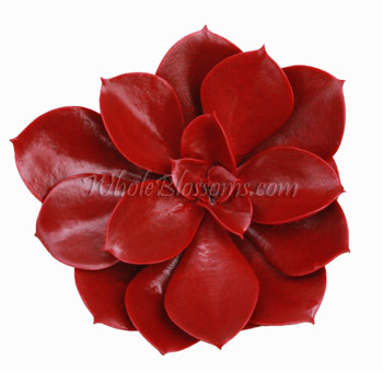 buy red succulent fresh flower for sale
