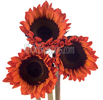 Red Sunflower Tinted