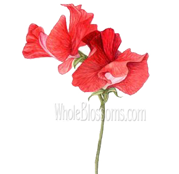 Sweet Pea Red Flower