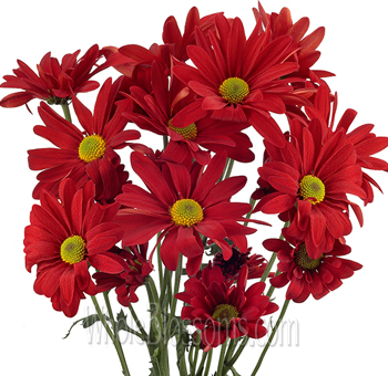 Daisy Pom Tinted Red Flowers