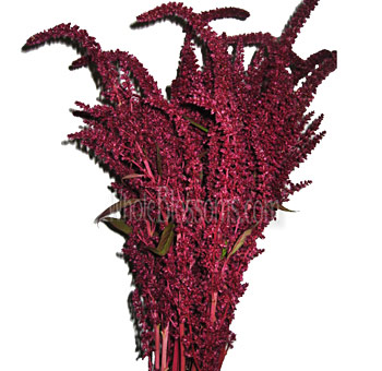 Amaranthus Red Upright