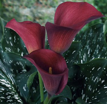Red Pulse Calla lilies Long