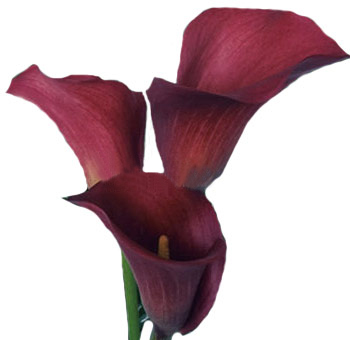 Red Calla Lilies Pulse