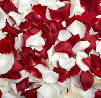 Fresh Red White Rose Petals for Valentine's Day