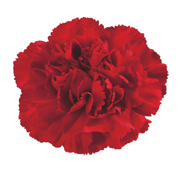 Valentine's Day Red Dyed Carnations