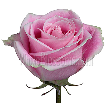 Rosita Vendela Light Pink Rose