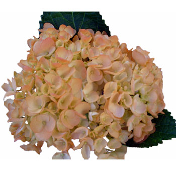 Peach Hydrangea Airbrushed