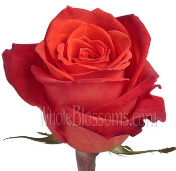 wholesale santana orange rose. Black Bedroom Furniture Sets. Home Design Ideas