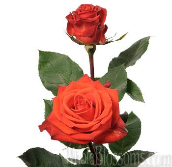 santana rose wholesale orange roses. Black Bedroom Furniture Sets. Home Design Ideas