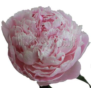 Light Pink Peony Flowers for Wedding