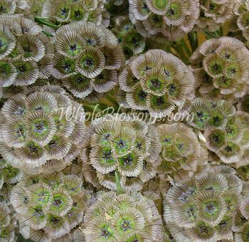 Dried Flower Wreaths on Scabiosa Pod Flower   Wholesale Starflower Pincushion Wedding Flowers