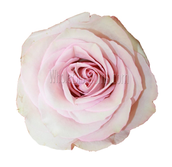 Secret Light Pink Garden Rose
