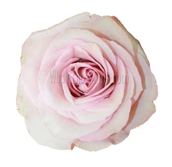 secret light pink garden rose
