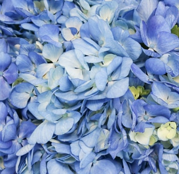 Shocking Blue Hydrangea Petals