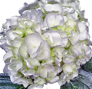 silver white hydrangea tinted - White Hydrangea