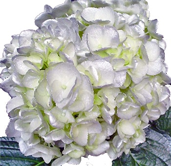 Silver White Airbrushed Premium Hydrangea