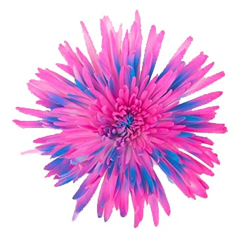 Hot Pink-Sky Blue Mums