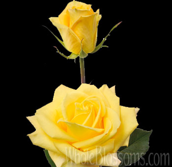 Skyline Yellow Rose