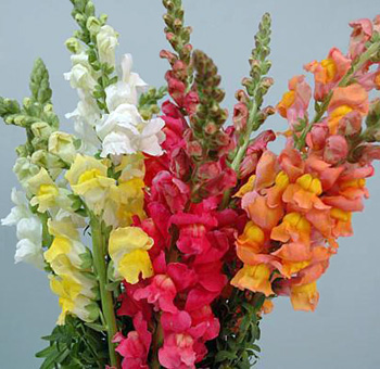Assorted Snapdragon Flowers