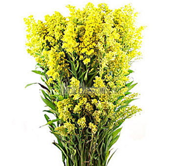 solidago-flower