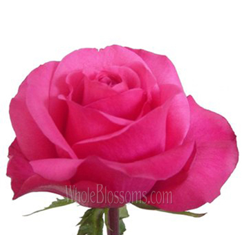 Solitaire Dark Pink Wholesale Roses
