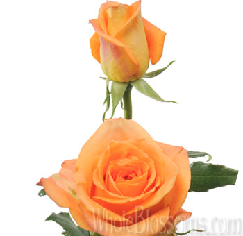 Sombrero Orange Wholesale Roses