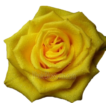 Sonrisa Golden Yellow Rose