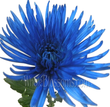 Spider Mum Anastasia Blue Airbrushed