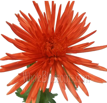 Orange Spider Mums