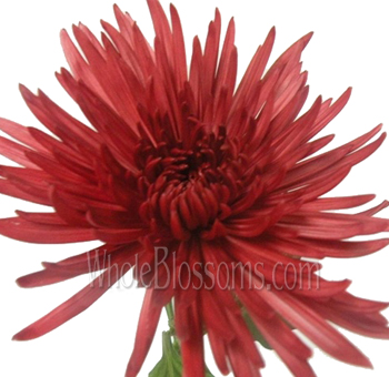 Spider Mum Anastasia Red Tinted