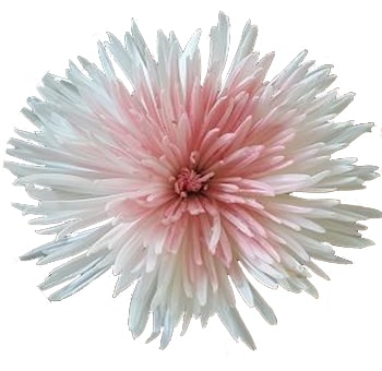 Spider Mums Anastasia Bicolor Pink White Flowers