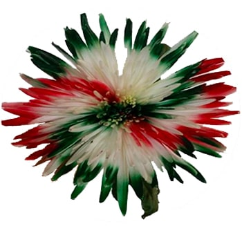 White Spider Mums with Green and Red