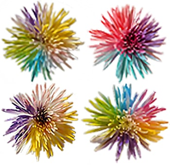 Rainbow Spider Mums - Pastel Colors