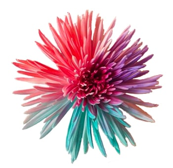 Spider Mums Tricolor Pink Lavender Turquoise