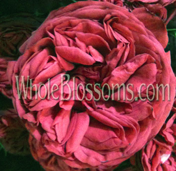 Dark Pink Spray Garden Rose Kabuki Flower
